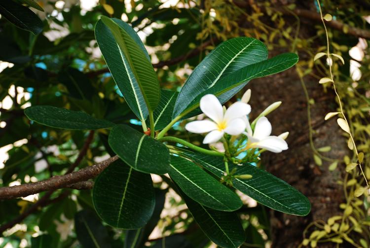 Plumeria20150423cambodia02.jpg