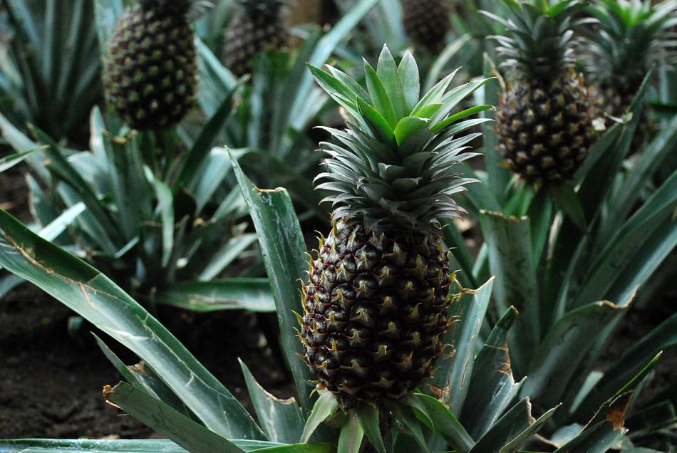 pineapple20120220juju.jpg