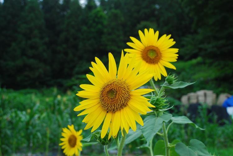 sunflower20120806chuk_01.jpg