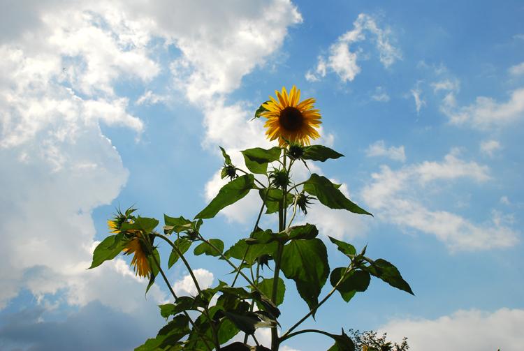 sunflower20120806chuk_02.jpg