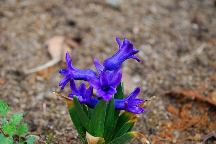 Hyacinthus20130331goseoksa.jpg
